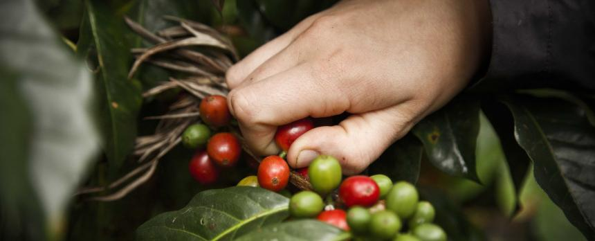 Image of a person picking coffee beans
